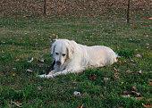 Golden Retriever in the grass