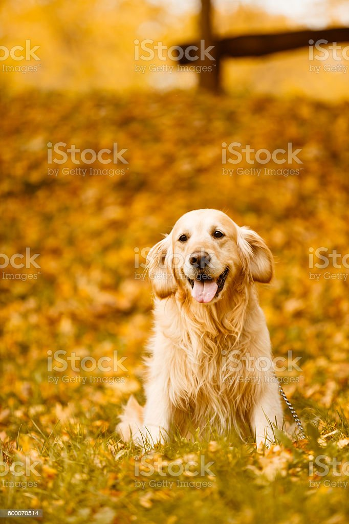 Golden retriever in the park stock photo