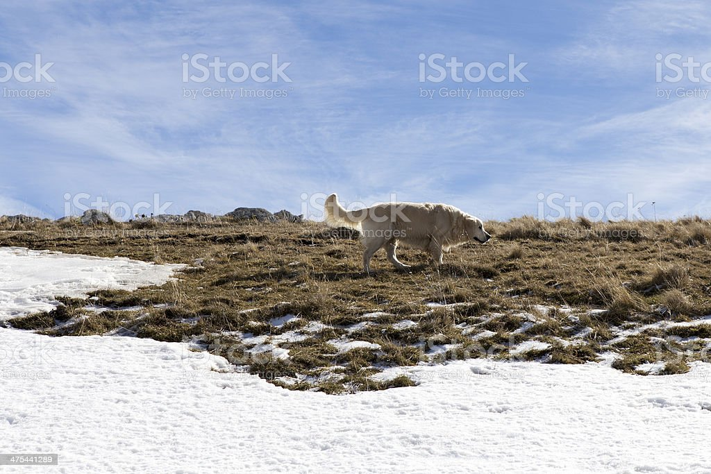 Golden Retriever in the snow royalty-free stock photo