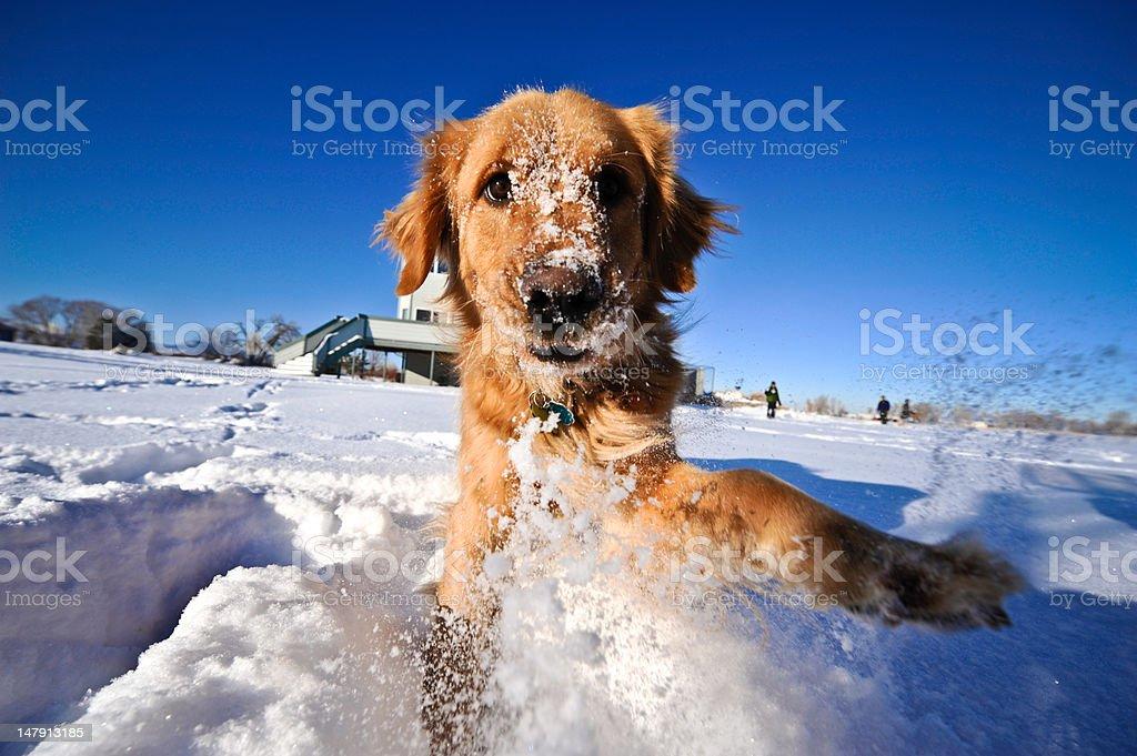 Golden Retriever in Winter stock photo