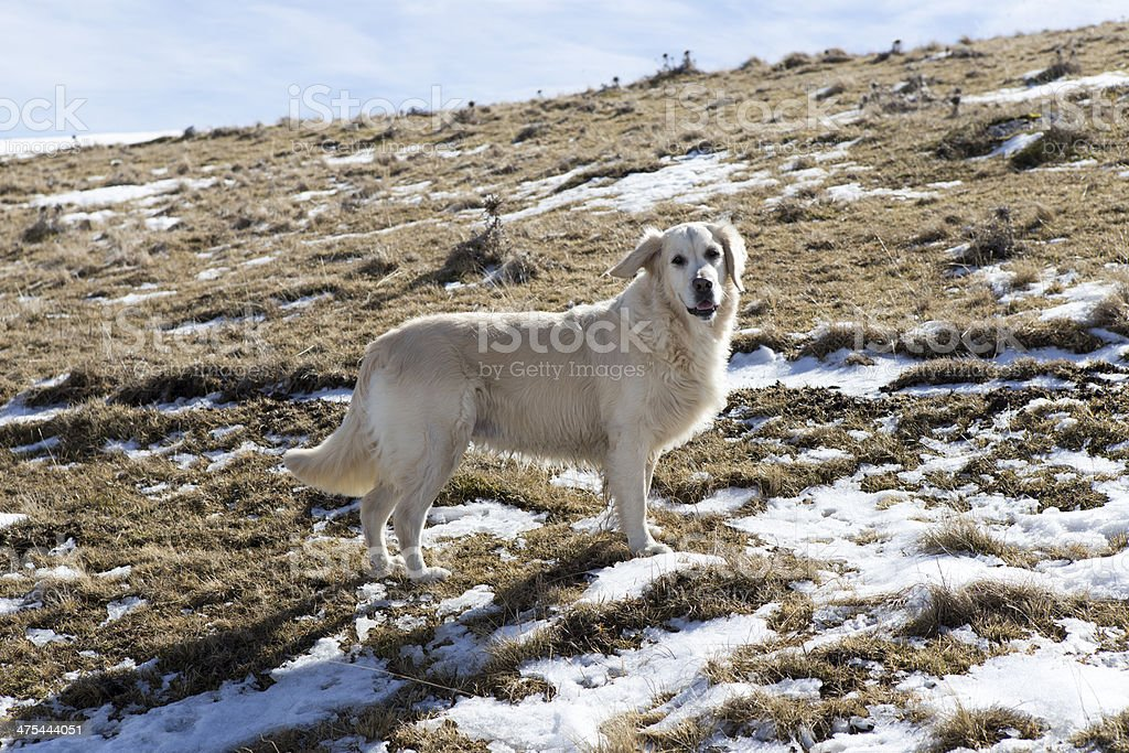 Golden Retriever in winter royalty-free stock photo
