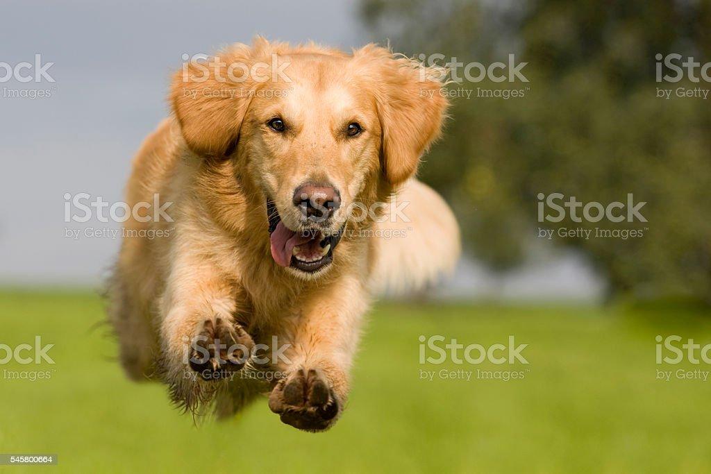 Golden Retriever jumping over a green meadow stock photo