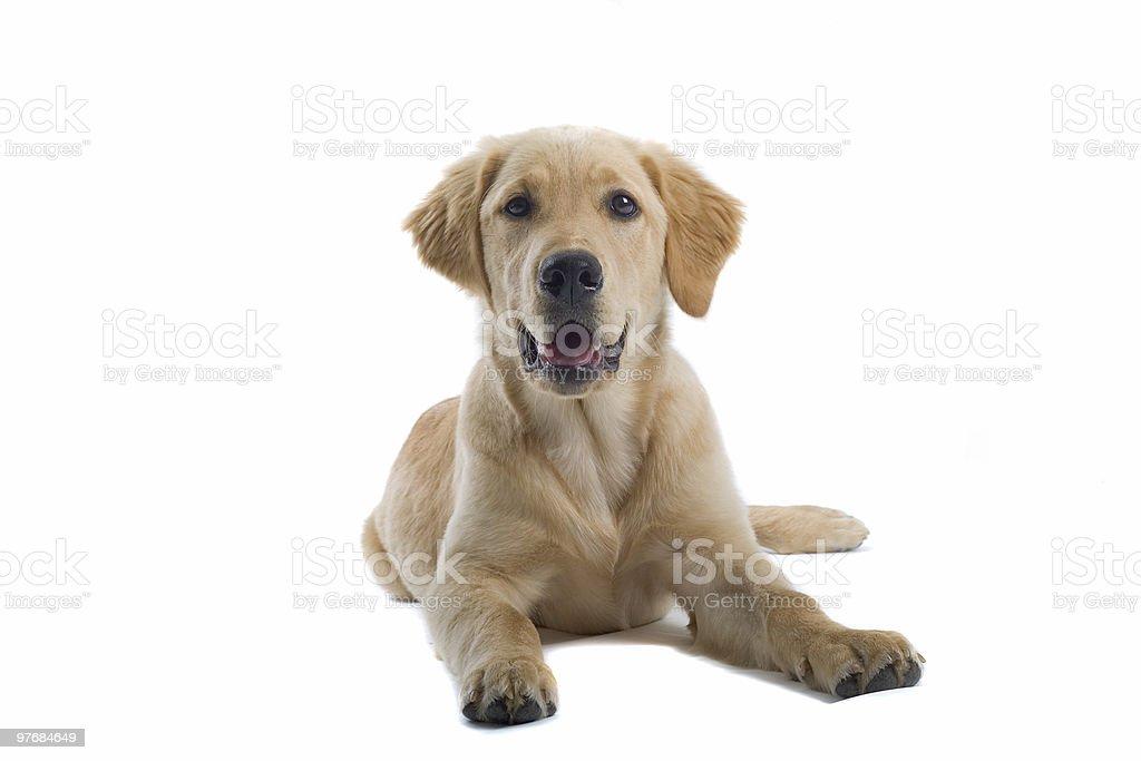 golden retriever labrador puppy royalty-free stock photo