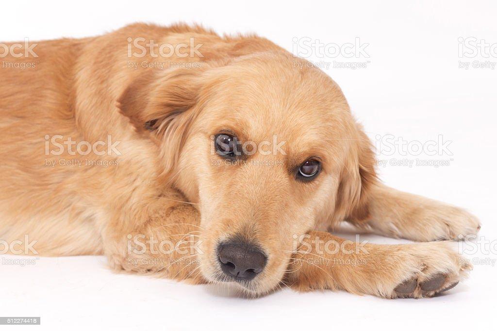 Golden Retriever laying down on white background stock photo