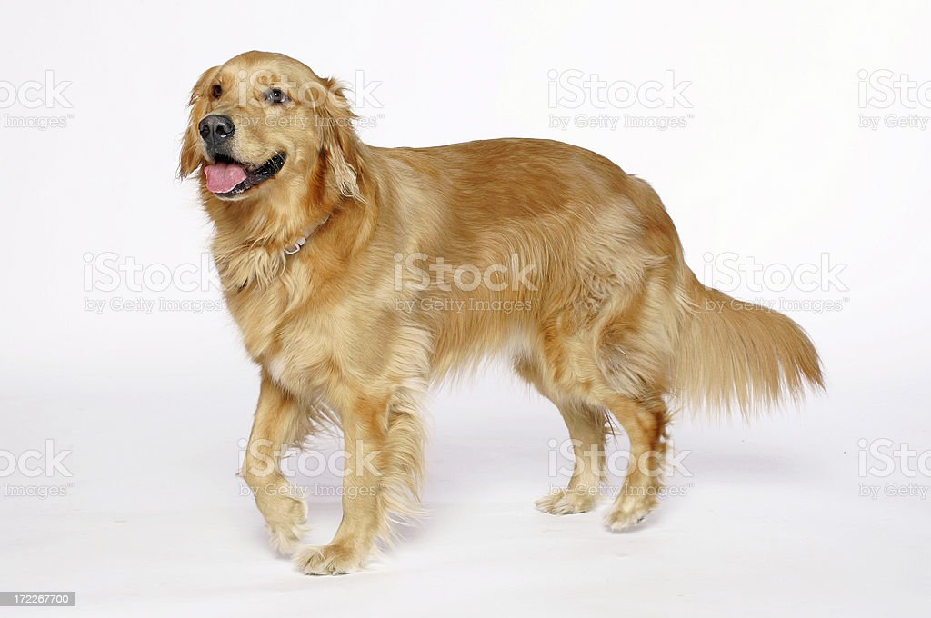 Golden Retriever leg up stock photo