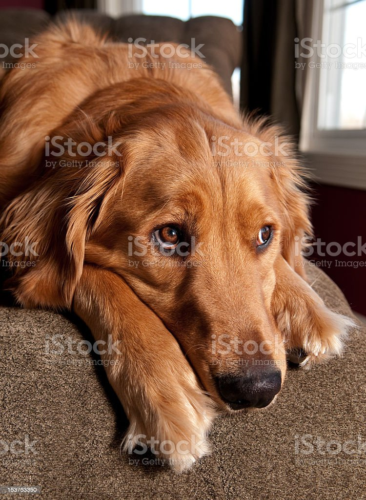 Golden Retriever Looking Out A Window royalty-free stock photo