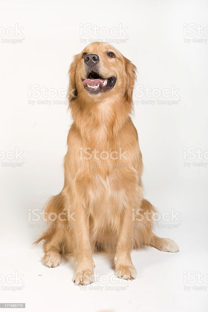 Golden Retriever looking up royalty-free stock photo