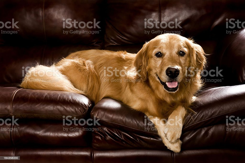 Golden Retriever lying on a leather sofa royalty-free stock photo