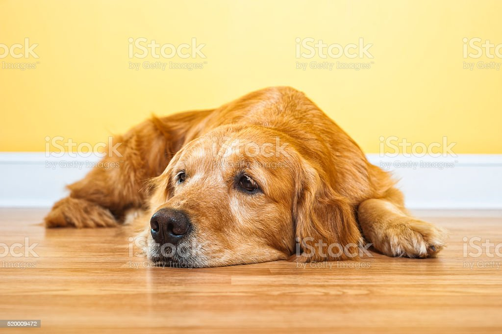 Golden Retriever lying on the floor waiting stock photo