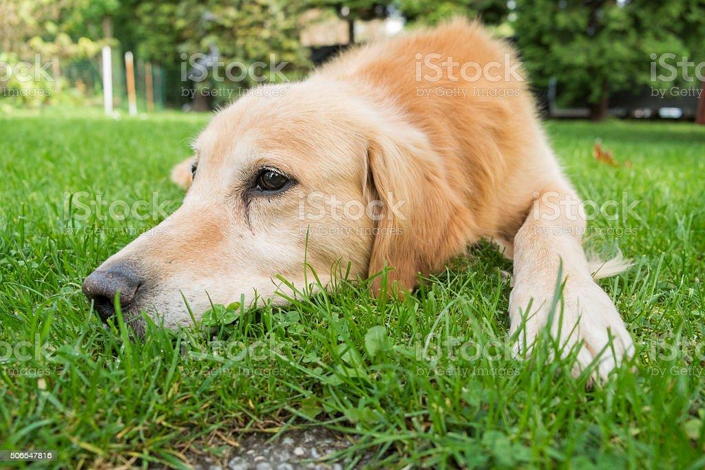 Golden retriever lying on the ground stock photo