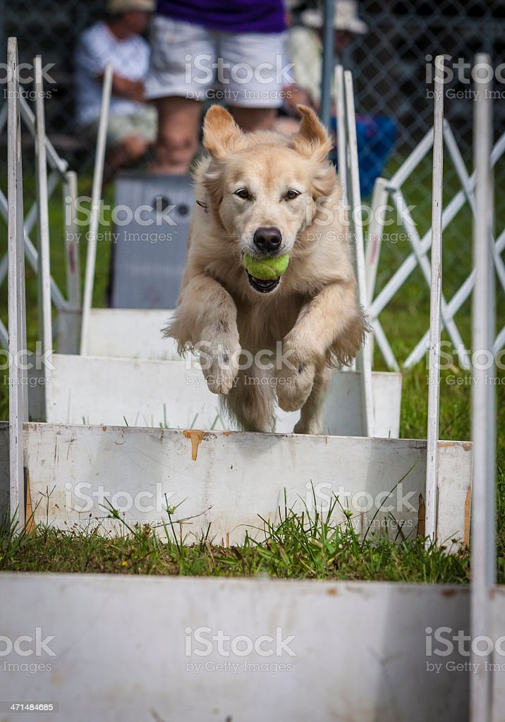 Golden Retriever Mid-Air Jumping Obstacles in Competition stock photo