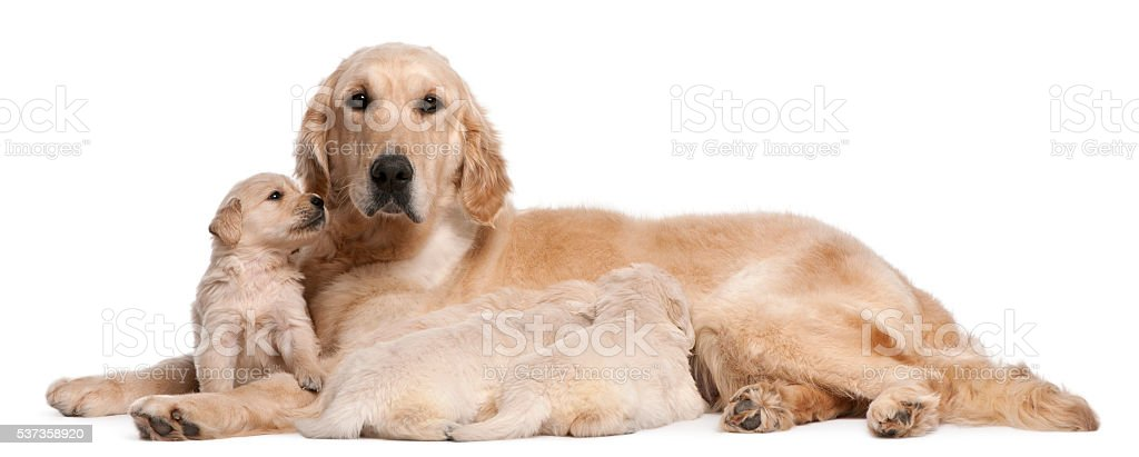 Golden Retriever mother nursing and her puppies stock photo