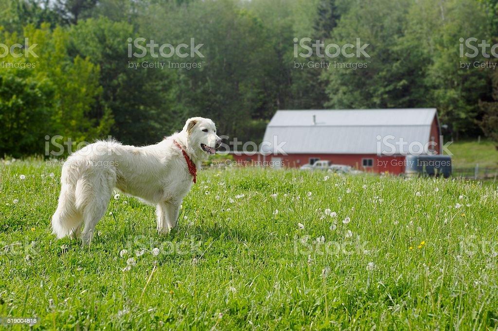 Golden retriever near barn stock photo