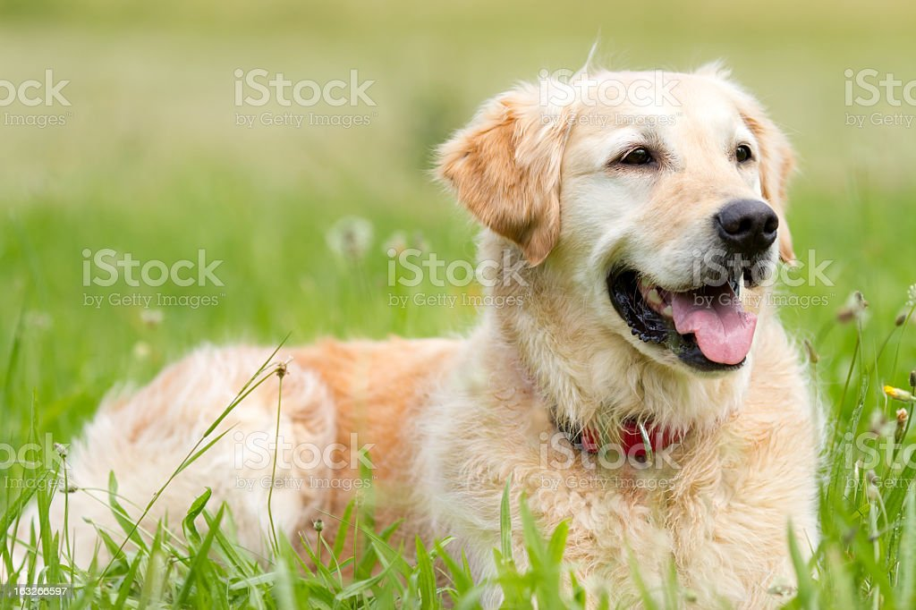 Golden Retriever on a meadow royalty-free stock photo