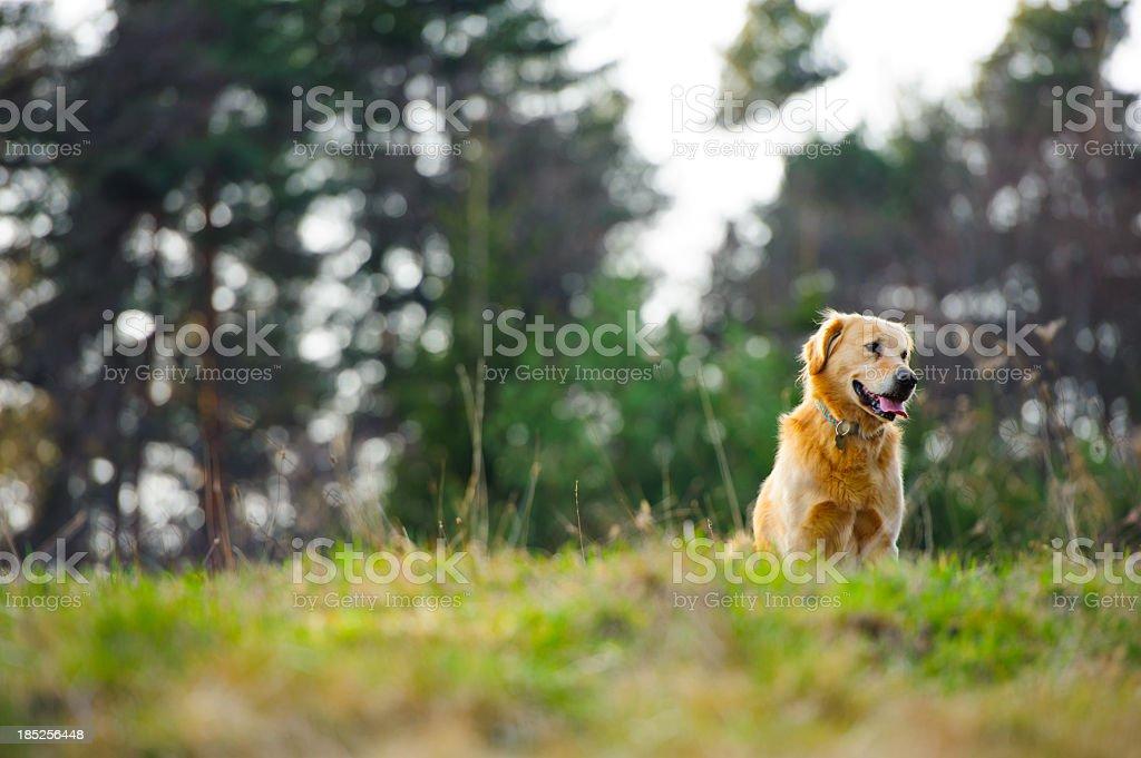 Golden retriever on the hill stock photo