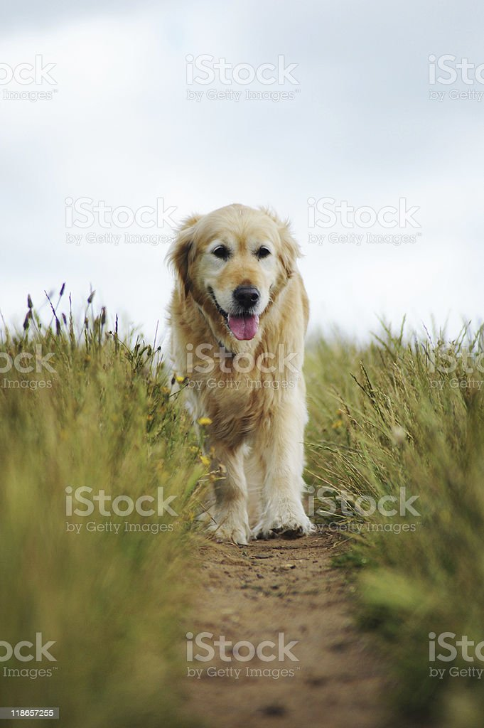 Golden retriever out for a walk royalty-free stock photo