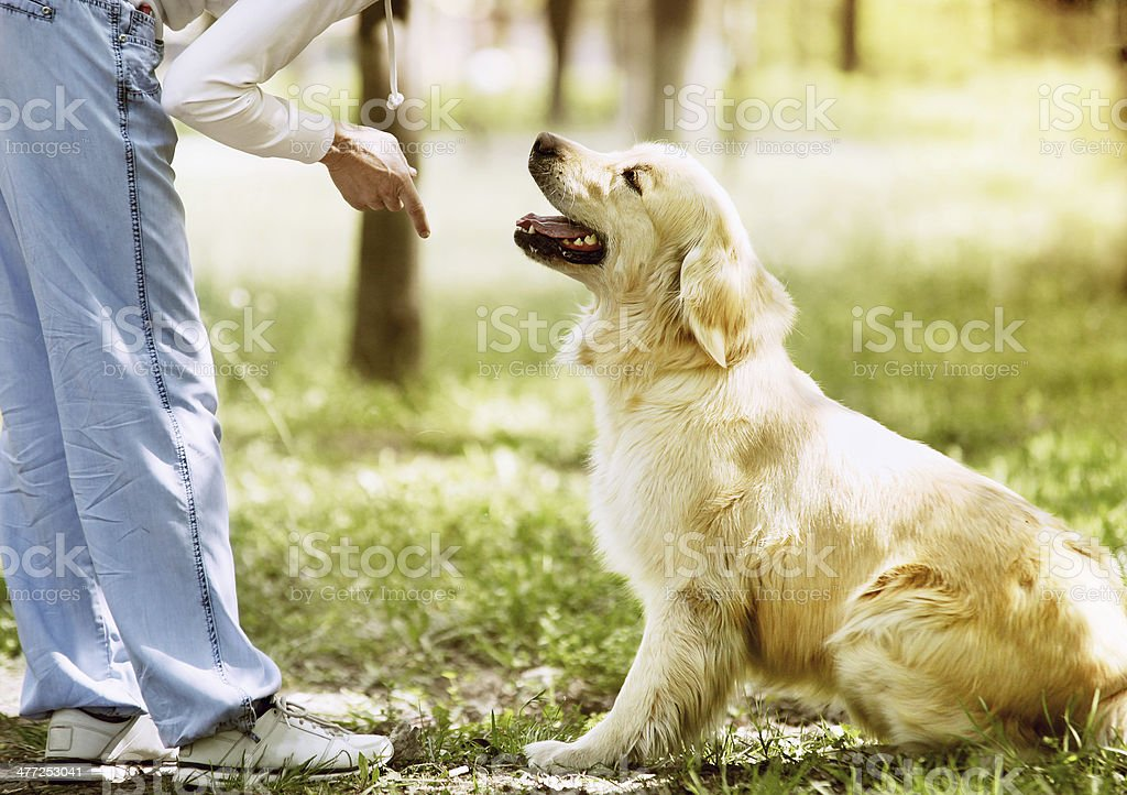 Golden Retriever outdoor training process stock photo