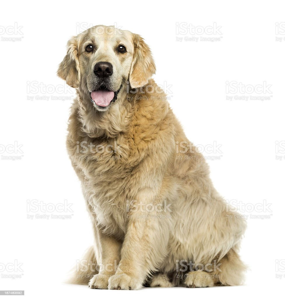 Golden retriever panting, sitting, isolated on white stock photo