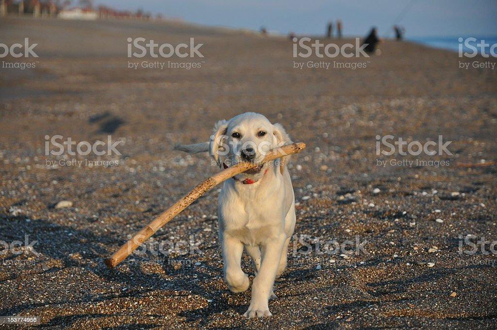 Labrador dorado foto de stock libre de derechos