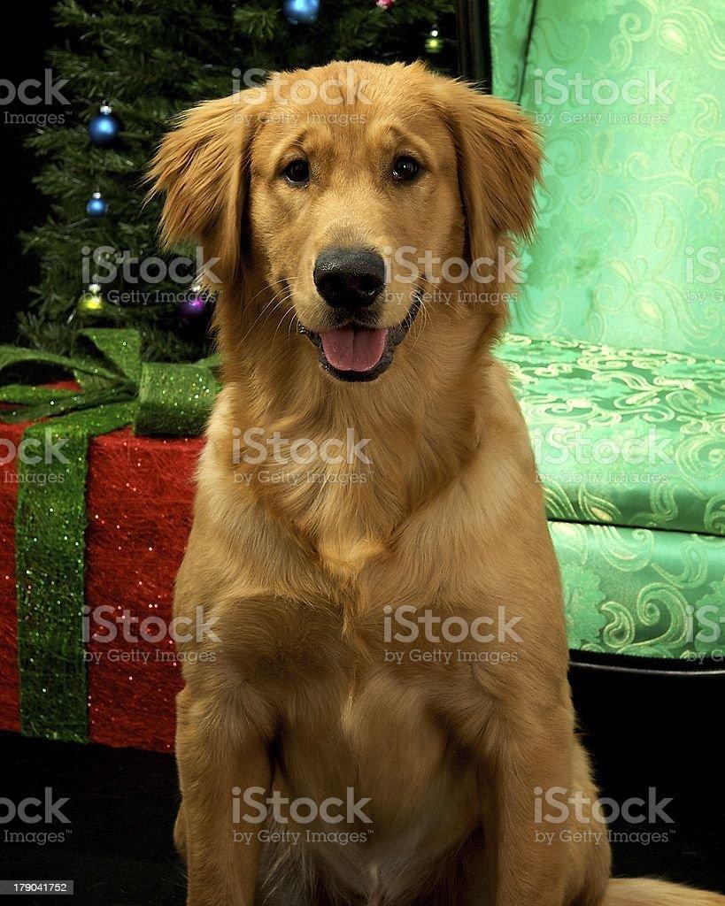 Golden Retriever royalty-free stock photo