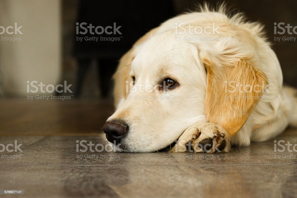 Golden Retriever foto stock royalty-free