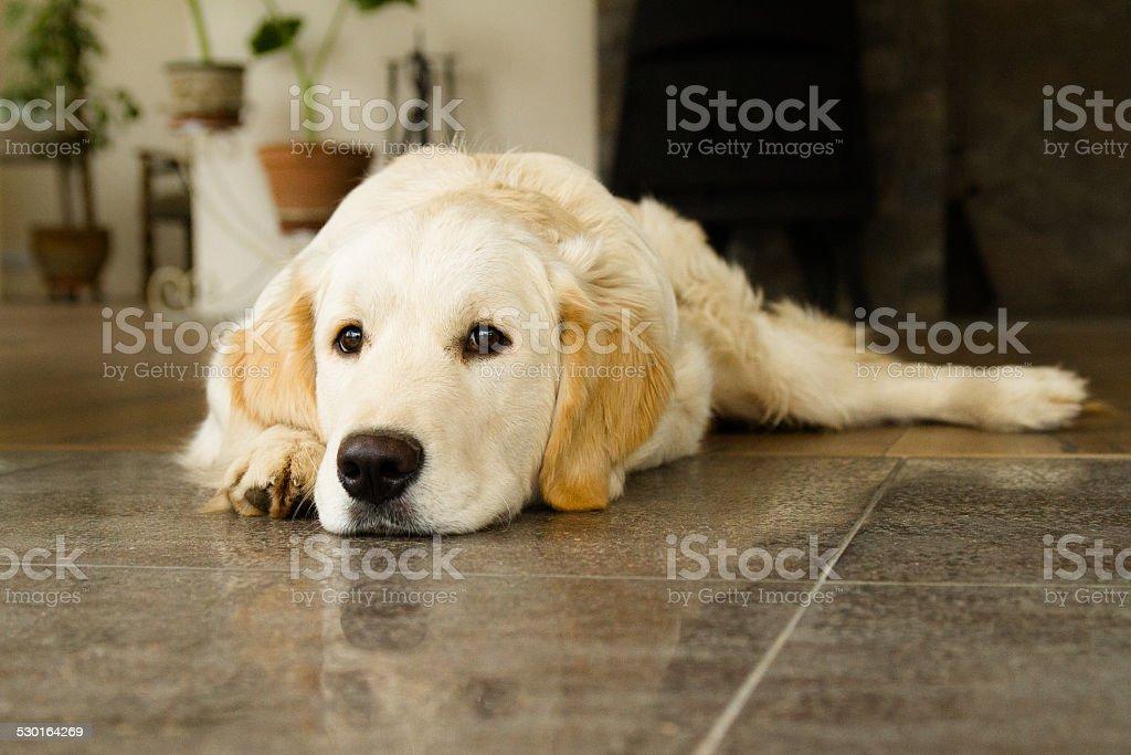 Golden Retriever foto stock royalty-free