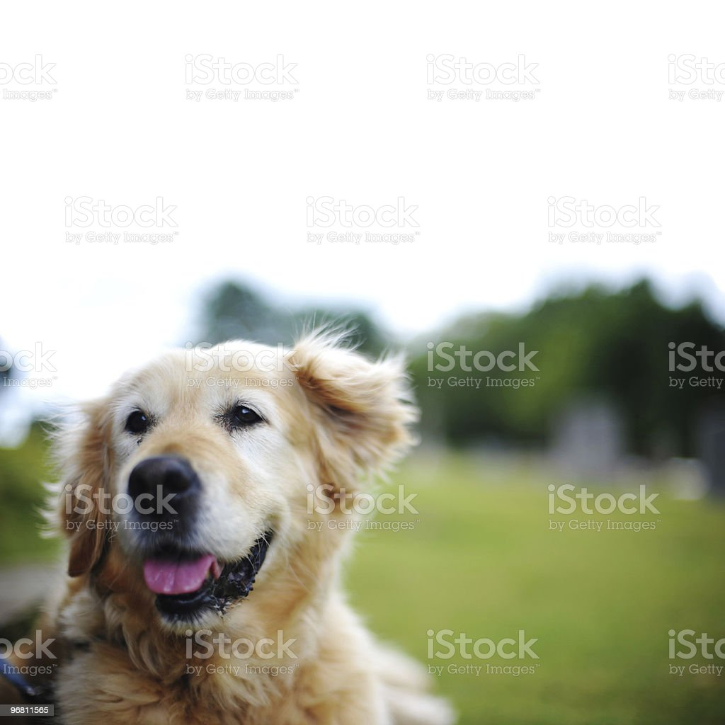Golden Retriever royalty-free stock photo
