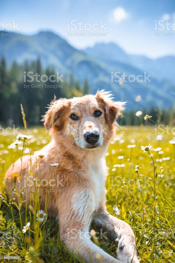 golden retriever portrait on the meadow stock photo