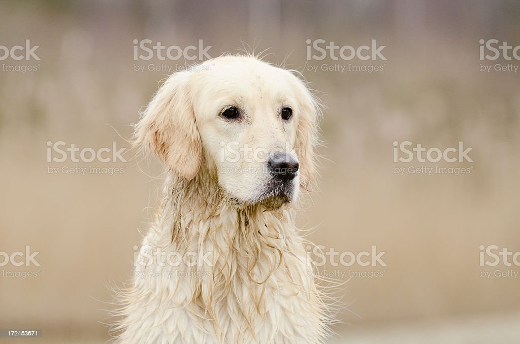 Golden retriever portrait royalty-free stock photo