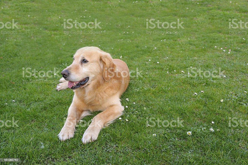 Golden retriever posing stock photo