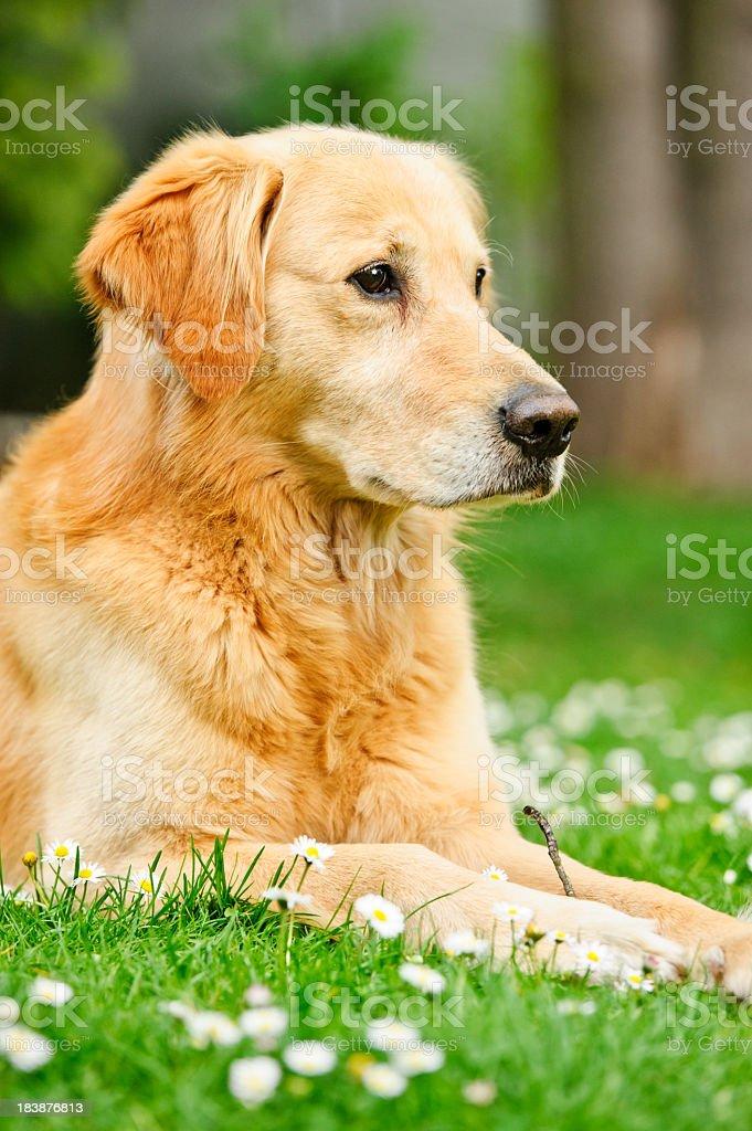 Golden Retriever Profile royalty-free stock photo