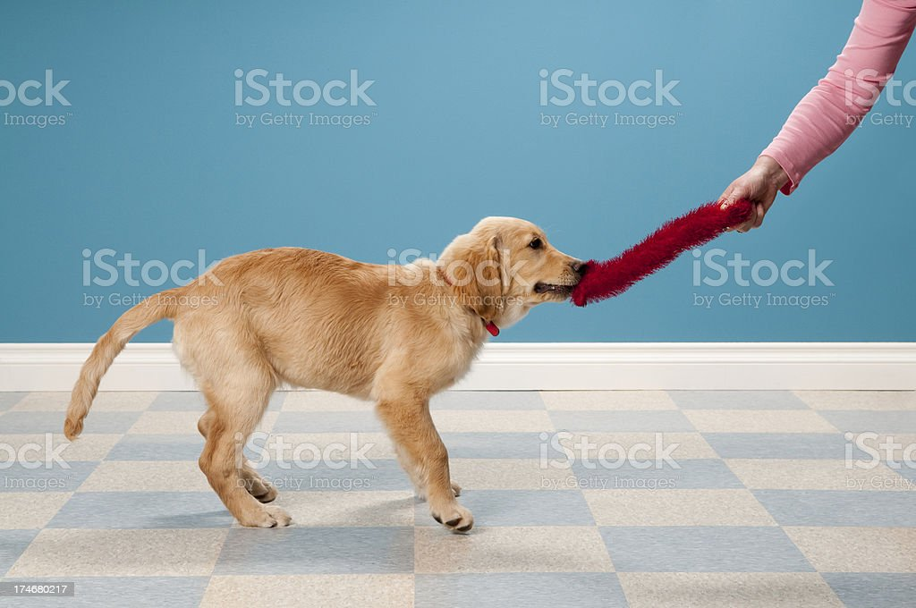 Golden Retriever Pulling On Toy royalty-free stock photo