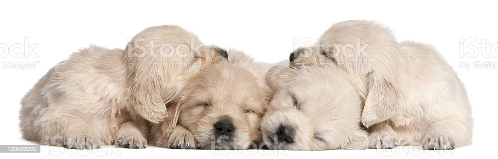 Golden Retriever puppies, 4 weeks old, asleep, white background. stock photo