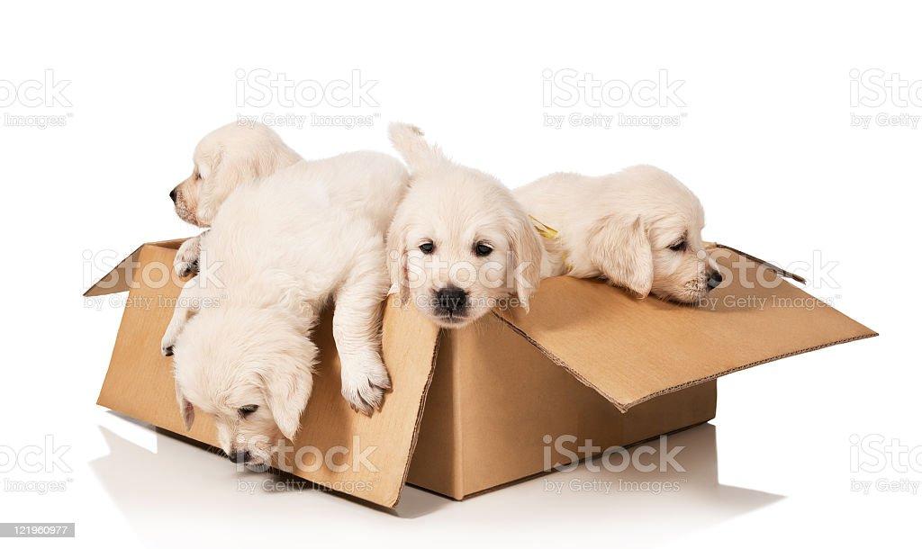 Golden retriever puppies inside cardboard box isolated stock photo