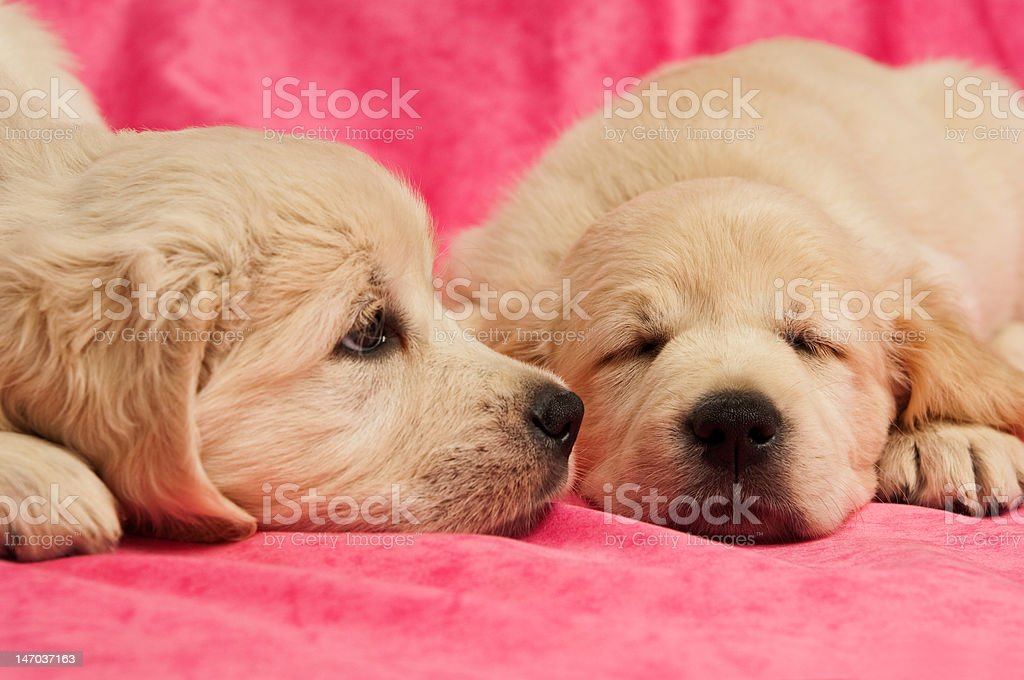 Golden Retriever Puppies laid on a pink background royalty-free stock photo