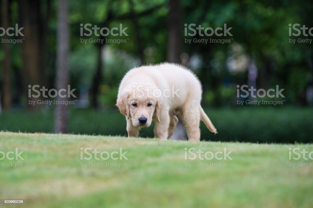 Golden Retriever puppies on the grass stock photo