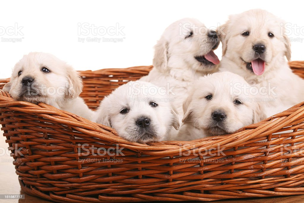 Golden retriever puppies royalty-free stock photo