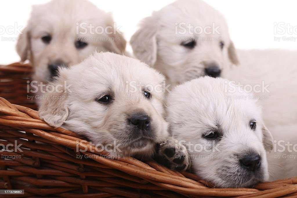 Golden retriever puppies royalty-free stock photo