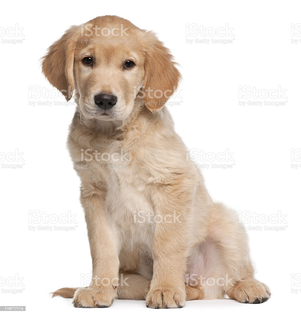 Golden Retriever puppy, 2 months old, sitting, white background stock photo