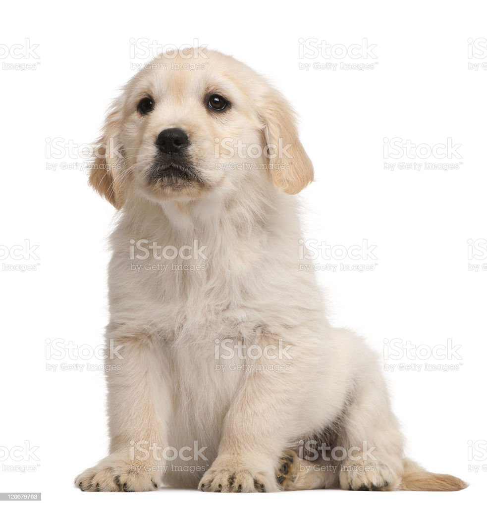 Golden Retriever puppy, 20 weeks old, sitting, white background. stock photo