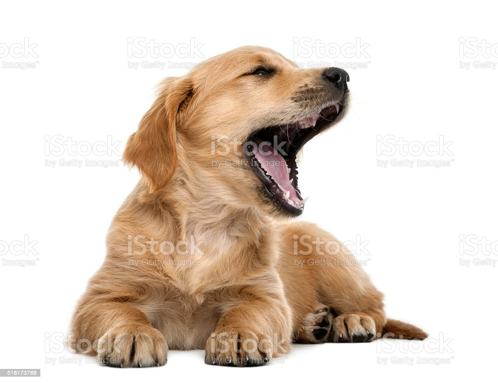 Golden retriever puppy, 7 weeks old, lying and yawning stock photo