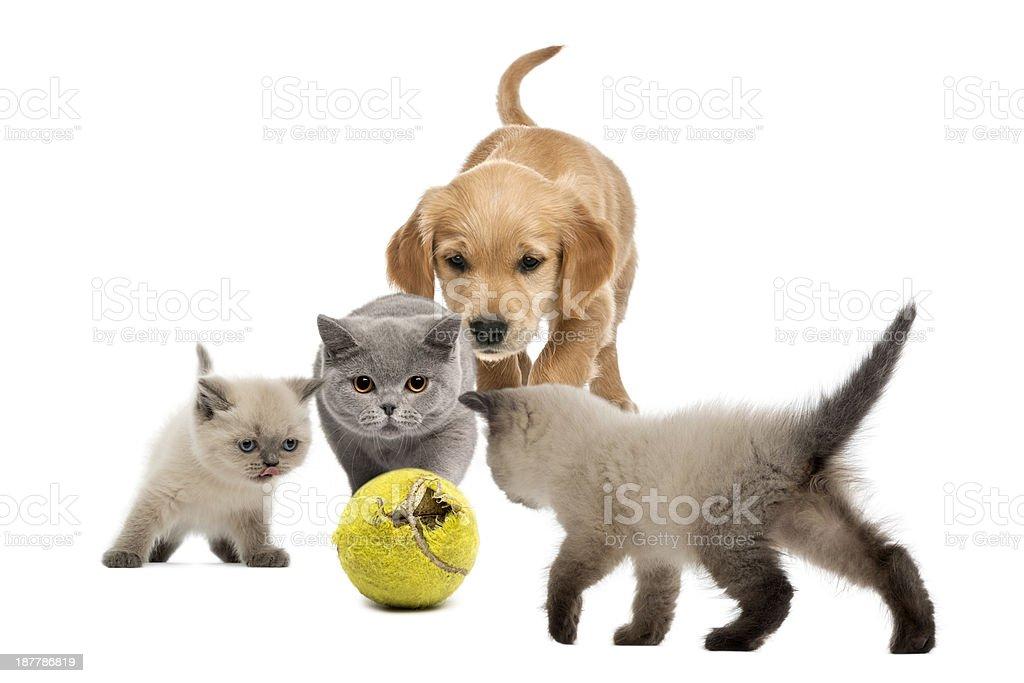 Golden retriever puppy a kittens walking towards tennis ball stock photo