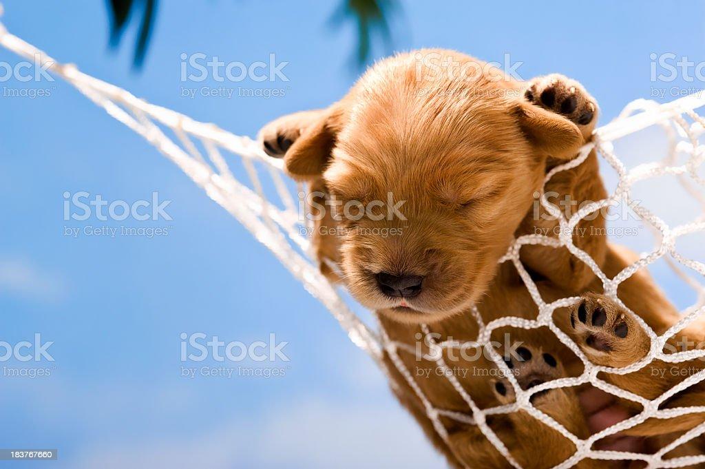 A Golden Retriever puppy asleep in a hammock. stock photo