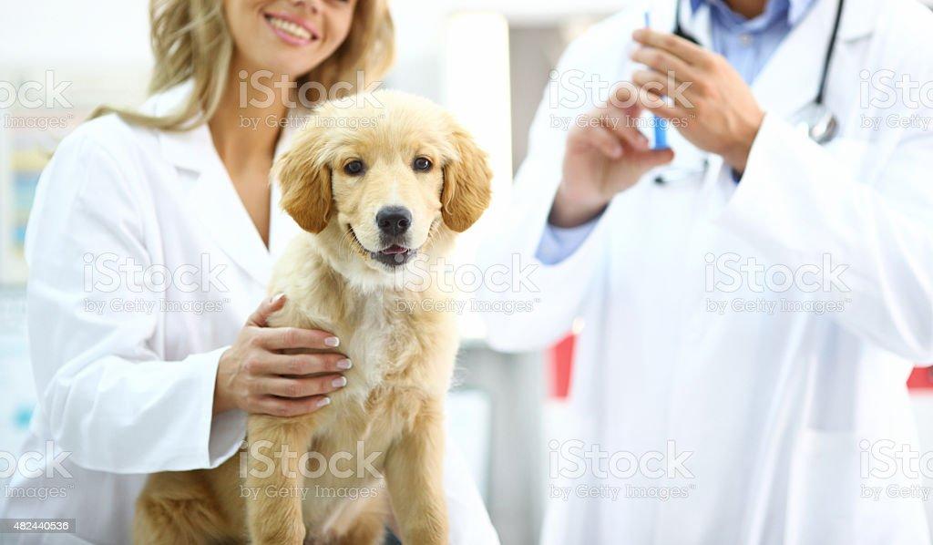 Golden Retriever puppy at vet's office. stock photo