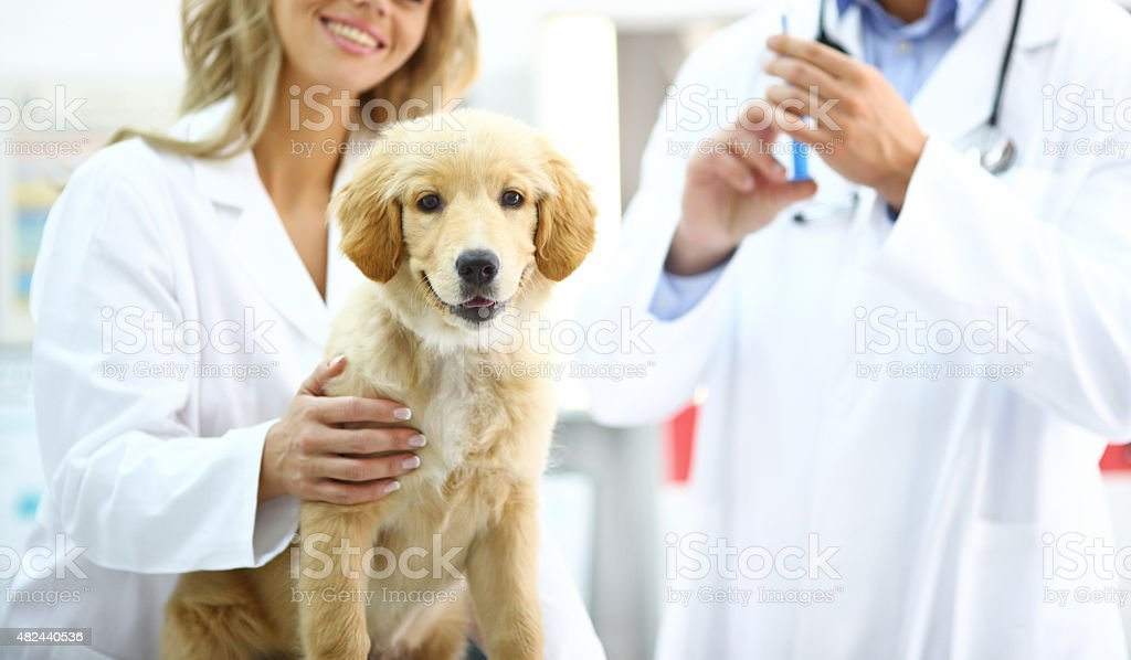 Golden Retriever puppy at vet's office. stock photo