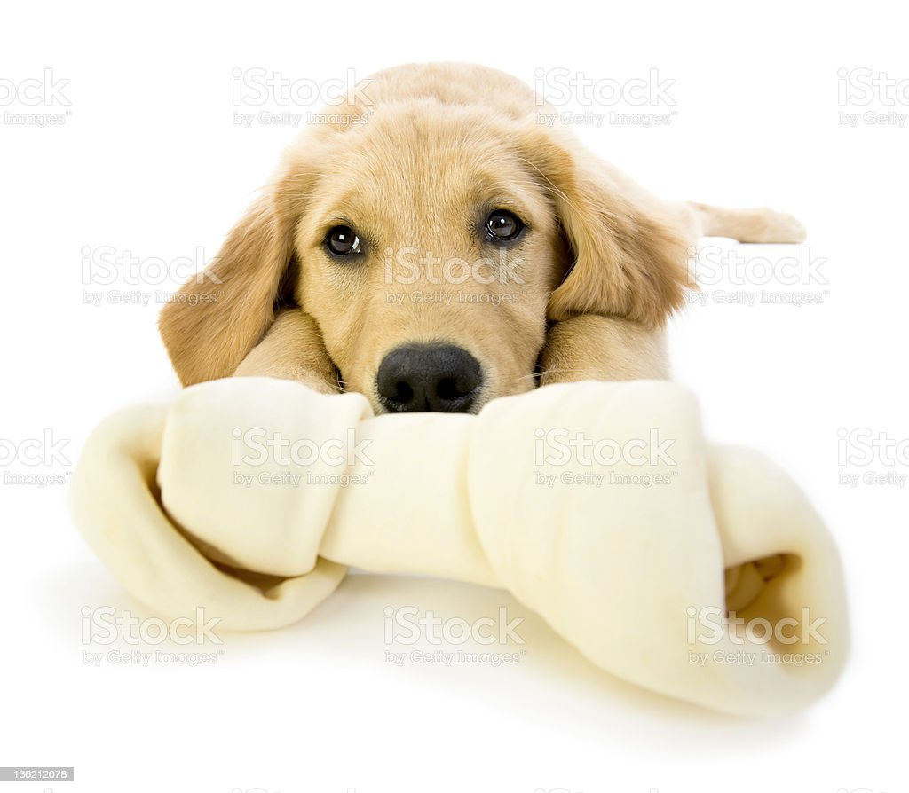 Golden Retriever Puppy bored with a rawhide stock photo