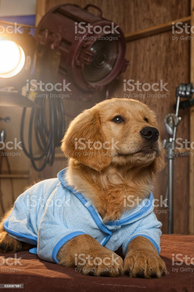 Golden Retriever Puppy dreaming of becoming a movie star stock photo