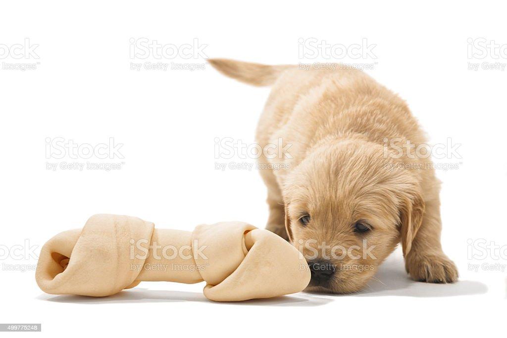 Golden Retriever puppy finding a rawhide bone stock photo