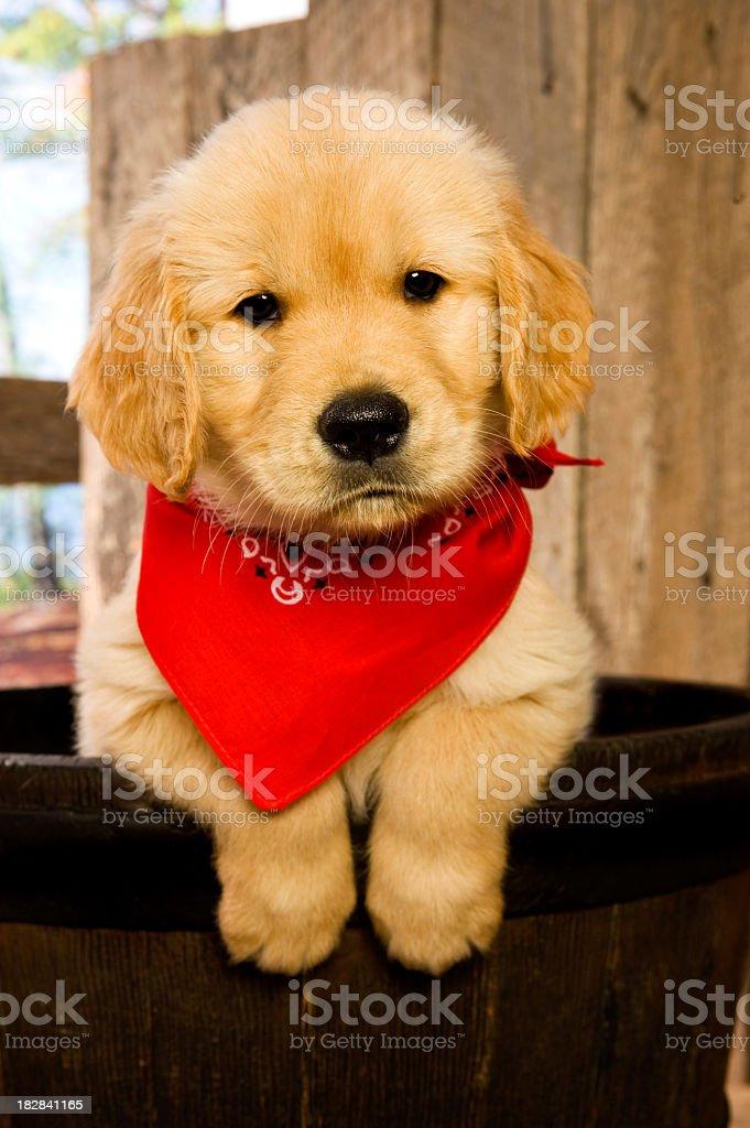 Golden Retriever puppy in barrel stock photo