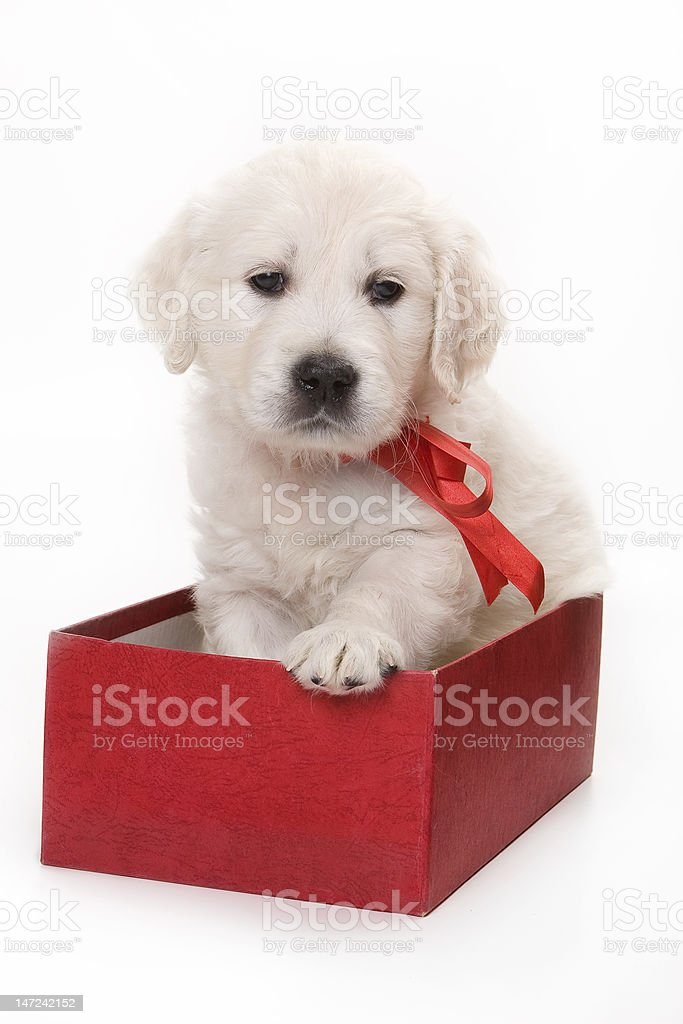 Golden retriever puppy in red box royalty-free stock photo